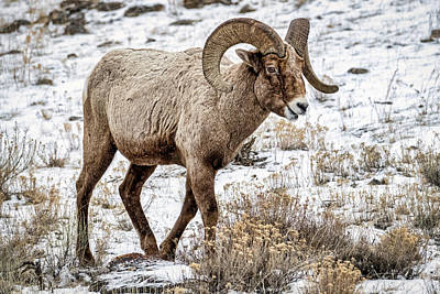 Photograph - Bighorn Sheep by Stuart Litoff