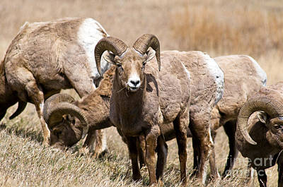 Photograph - Bighorn Sheep by Terry Elniski