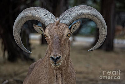 Photograph - Bighorn Sheep V16 by Douglas Barnard