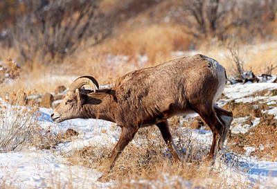 Winter Photograph - Bighorn Stare by Mike Dawson