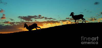 Rocky Mountain Sheep Photograph - Bighorn Sunset by Mike Dawson