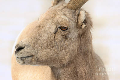 Photograph - Bighorn Ewe Closeup In A Snowstorm by Adam Jewell