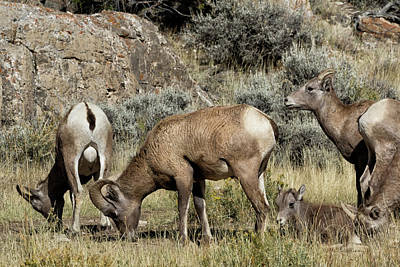Photograph - Bighorns At The Lick by Kathleen Bishop