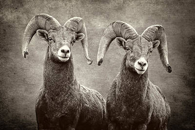 Photograph - Bighorns by Wes and Dotty Weber