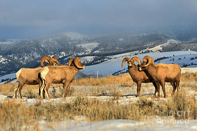 Photograph - Bighorns In The Elk Refuge by Adam Jewell