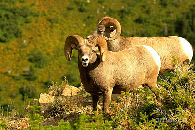 Photograph - Bighorns On The Cliff by Adam Jewell