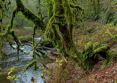 Photograph - Bigleaf Maple And Creek by Robert Potts