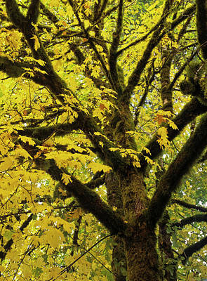 Photograph - Bigleaf Maple Yellow by Robert Potts