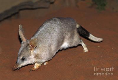 Unusual Animal Photograph - Bilby Macrotis Lagotis by Gerard Lacz