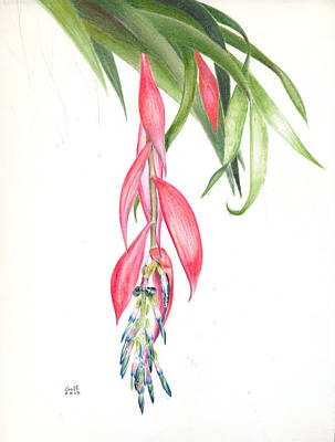 Painting - Billbergia 'windii' by Penrith Goff