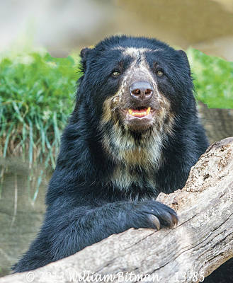 Photograph - Billie Jean Momma Andean Speckled Bear by William Bitman