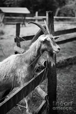 Photograph - Billy Goat Black And White by Giovanni Malfitano