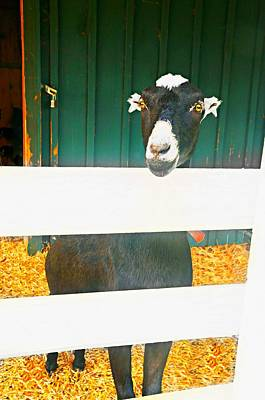 Photograph - Billy Goat by Diana Angstadt