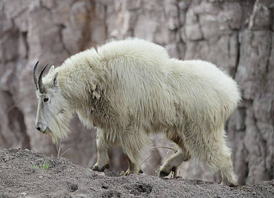 Photograph - Billy Goats Gruff by Whispering Peaks Photography