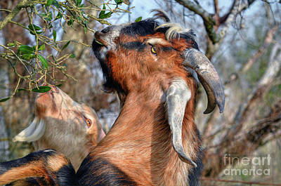 Photograph - Billy Goats by Savannah Gibbs