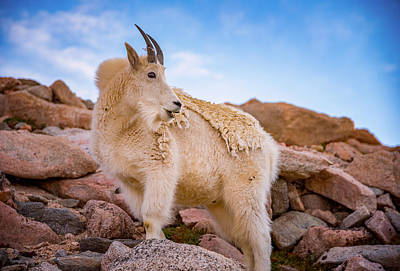 Mountain Goat Photograph - Billy Goat's Scruff by Darren White