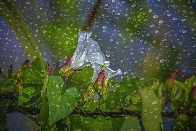 Photograph - Bindweed Droplets 1 #g1 by Leif Sohlman