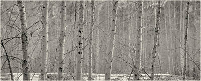 Photograph - Birch And Aspen Tree Trunks In Black And White by Peter V Quenter