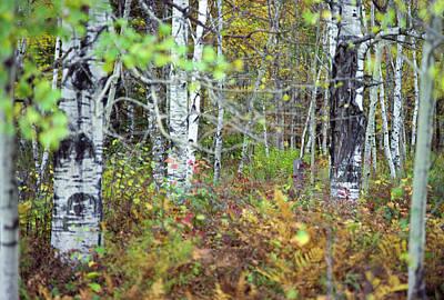 Photograph - Birch And Ferns by Bernard Lynch