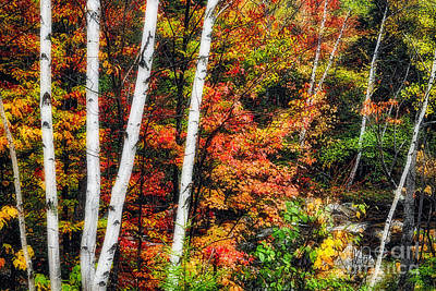 Birch And Maple Trees Along A Creek In Fall Original by George Oze