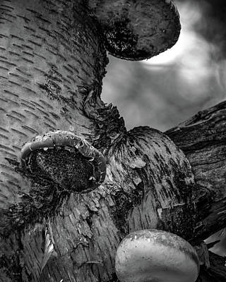 Photograph - Birch And Mushrooms by Bob Orsillo