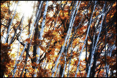Photograph - Birch And Oak And Sun by John Meader