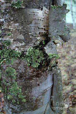 Photograph - Birch Bark 1 by Jacqueline Athmann