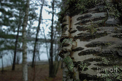 Birch Bark 2 Art Print by Jacqueline Athmann