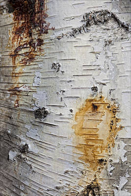 Birch Bark 2 Art Print