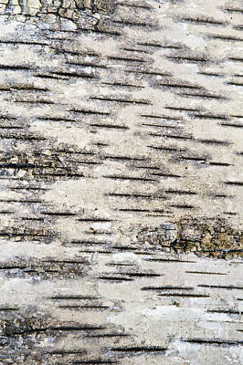Photograph - Birch Bark by Bill Brennan - Printscapes