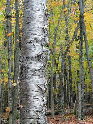 Photograph - Birch Bark In The Fall by David T Wilkinson