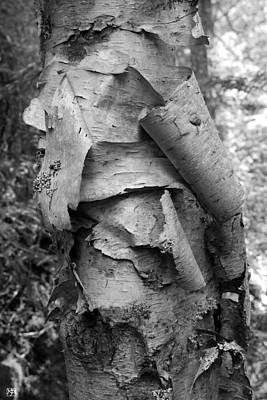 Photograph - Birch Bark by John Meader