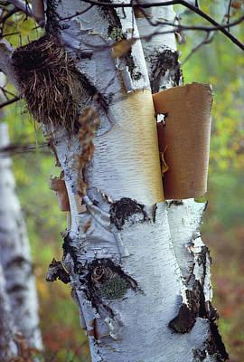 Photograph - Birch Bark, Leaf And Nest by Bernard Lynch