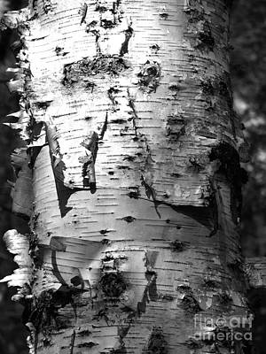 Photograph - Birch Bark Photograph by Kristen Fox
