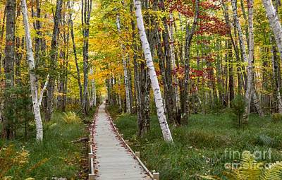 Photograph - Birch Boardwalk by Karin Pinkham