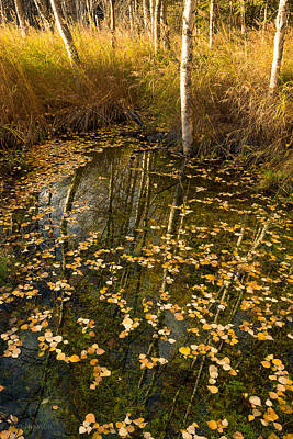 Photograph - Birch Bog In Autumn by Tim Newton