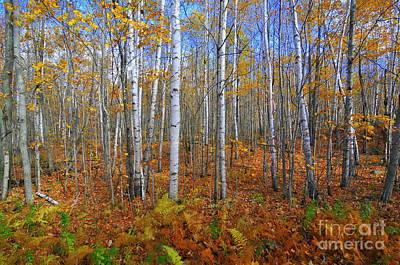 Birch Forest Autumn  Art Print by Catherine Reusch Daley
