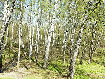 Birch Forest In Spring Art Print