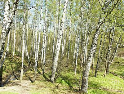 Birch Forest In Spring Art Print
