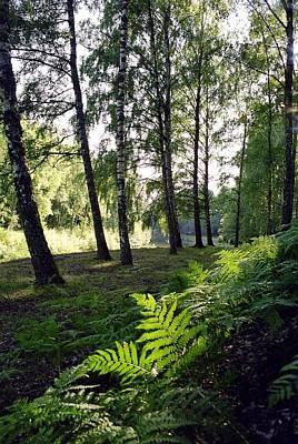 Photograph - Birch Grove by Juozas Mazonas