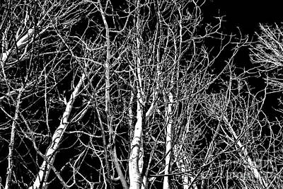 Photograph - Birch Grove by Tom Griffithe