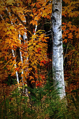 Photograph - Birch In Autumn by Nikolyn McDonald