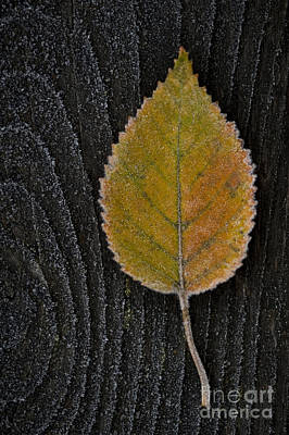 Photograph - Birch Leaf Frosted On Wood Railing by Jim Corwin