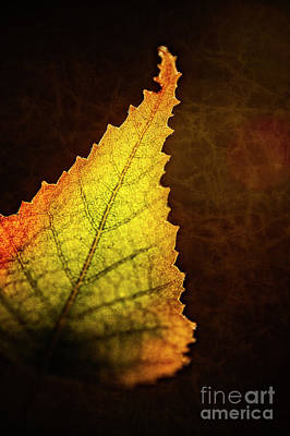 Photograph - Birch Leaf by Scott Kemper