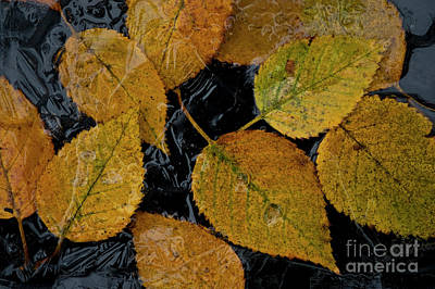 Photograph - Birch Leaves Frozen In Small Pond by Jim Corwin