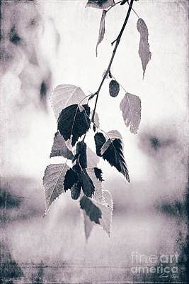 Photograph - Birch by Linda Lees