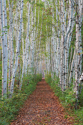Photograph - Birch Path by Chris Whiton