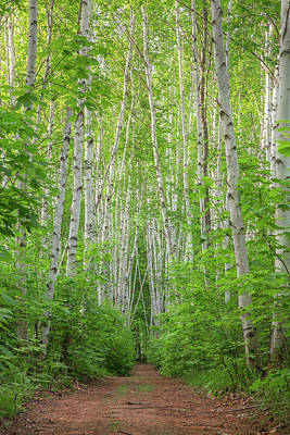 Photograph - Birch Path Spring #1 by Chris Whiton