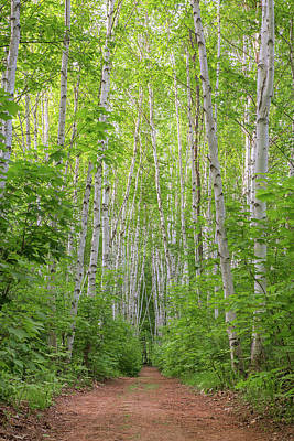 Photograph - Birch Path Spring #2 by Chris Whiton