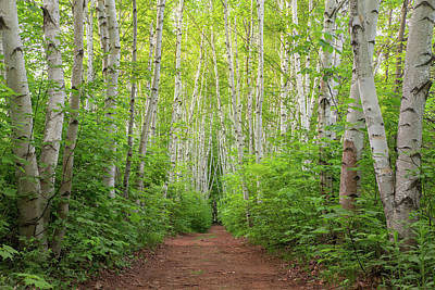 Photograph - Birch Path Spring #3 by Chris Whiton